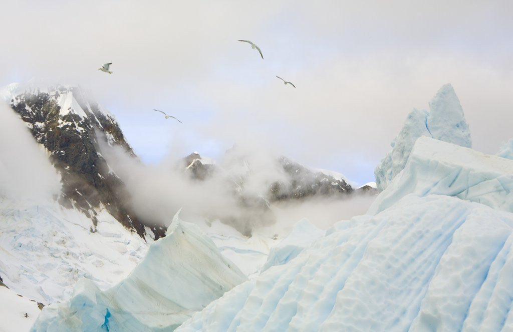 Detail of Gulls Flying Above Stranded Icebergs at Boothe Island by Corbis