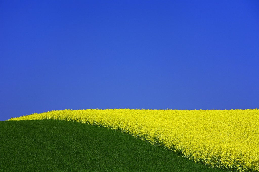 Detail of Blooming Rape Plant Field by Corbis