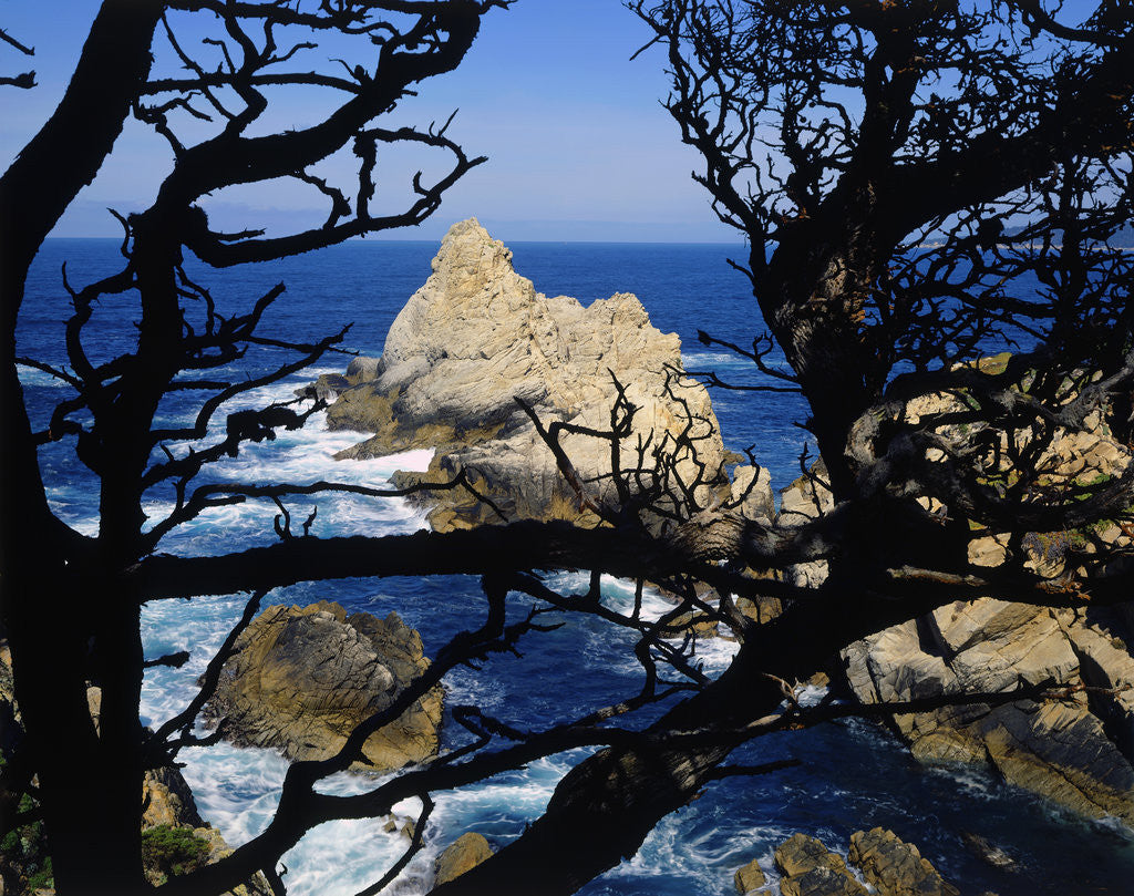 Detail of Cypress Trees at Point Lobos by Corbis