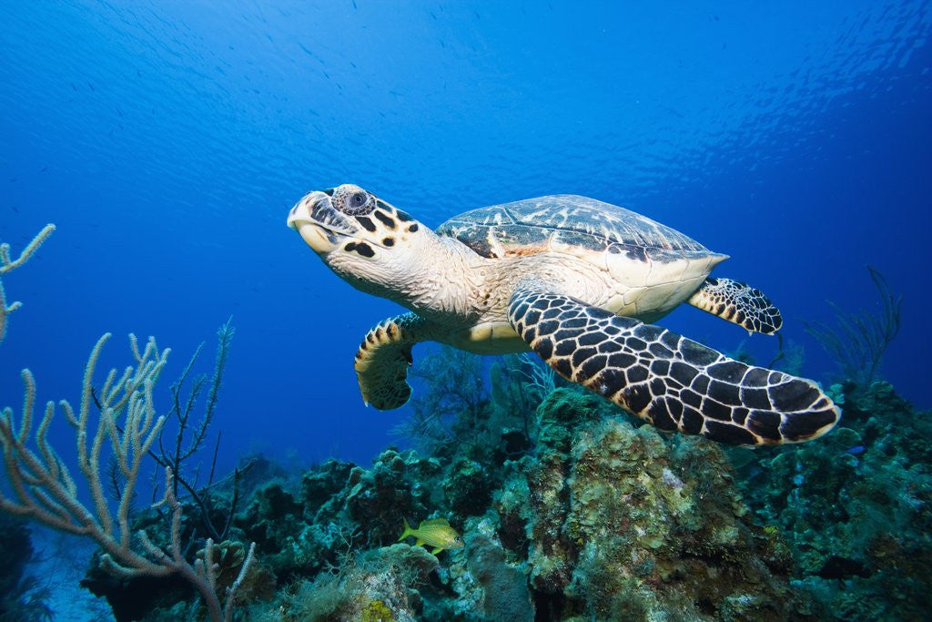 Detail of Hawksbill Turtle Swimming above Reef by Corbis