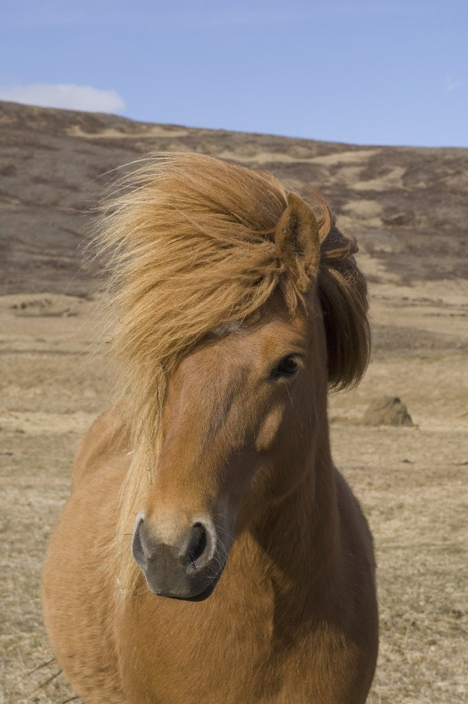 Detail of Icelandic Horse on the Snaefellsnes Peninsula by Corbis
