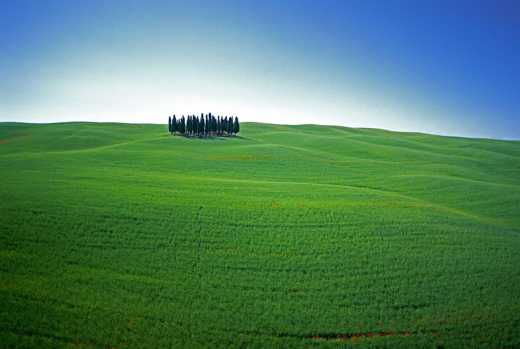 Detail of Coppice of Trees on Green Fields in Tuscany by Corbis