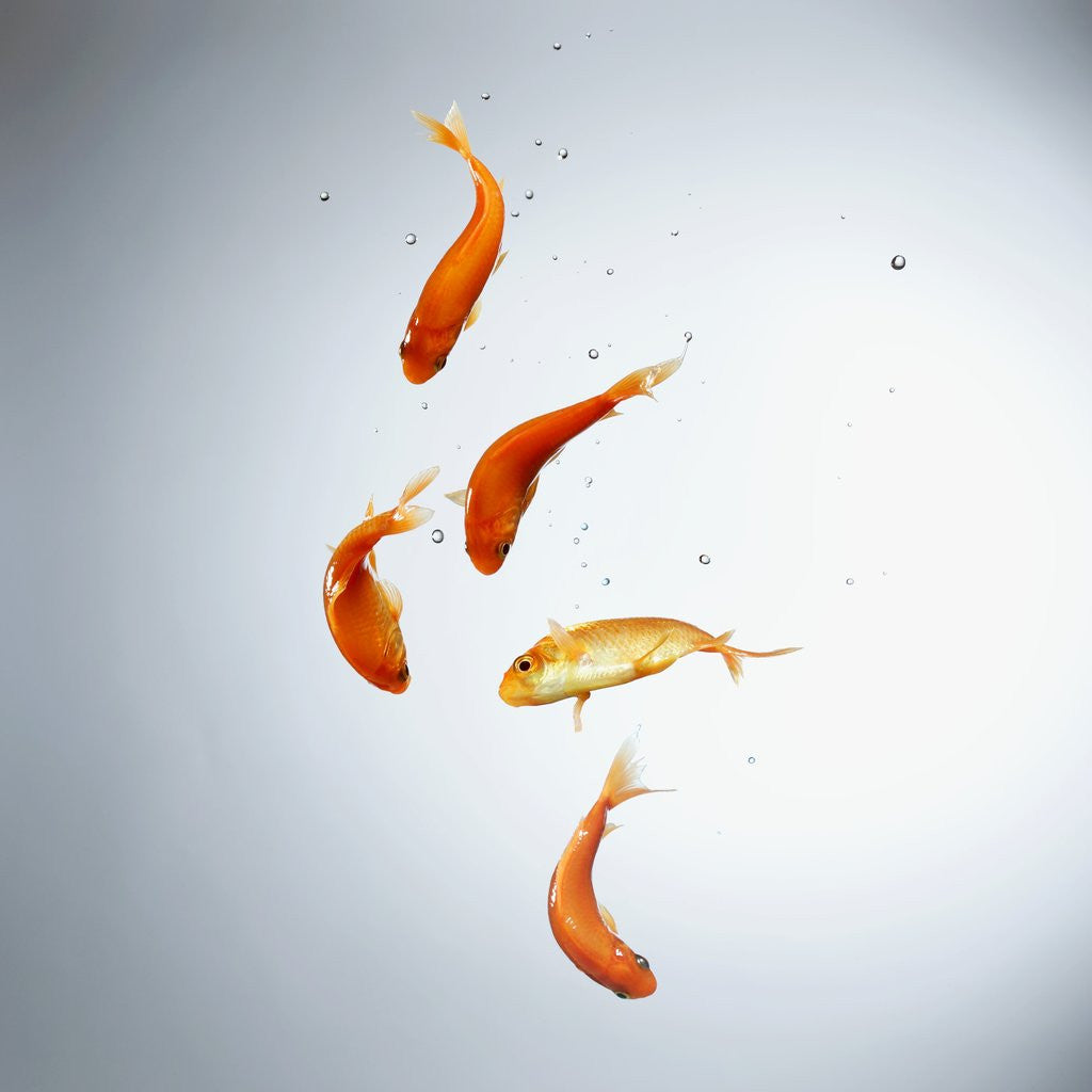 Five goldfish swimming with bubbles by Corbis