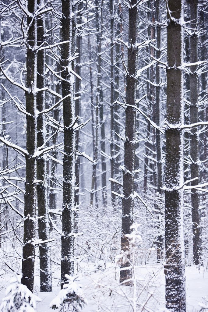 Detail of Snow-covered Trees in Forest by Corbis