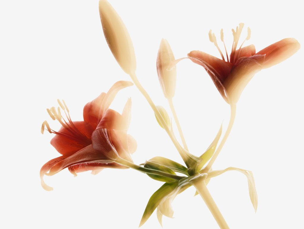 Detail of Asiatic lily by Corbis