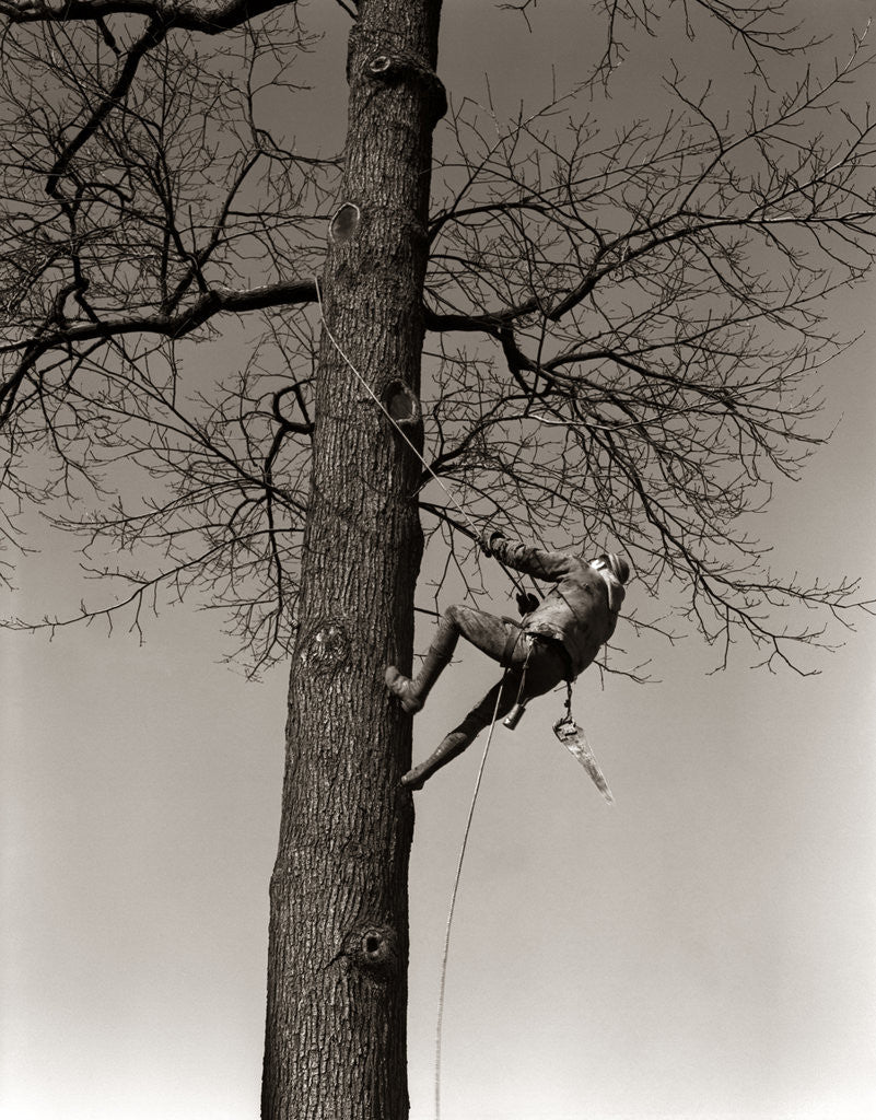 Detail of 1940s Man Worker Tree Surgeon Climbing Elm Tree Trunk With Trim Saw Pruning Trimming Branches Limbs by Corbis