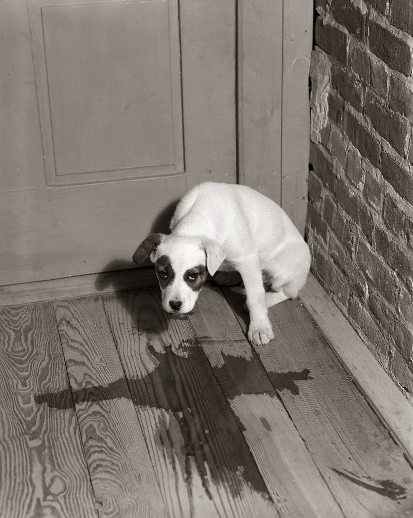 Detail of 1950s Sad Dog In Corner Ashamed House Training Accident Wooden Floor by Corbis