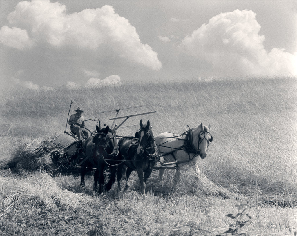 Detail of 1920s 1930s Horse-Drawn Wheat Harvesting by Corbis