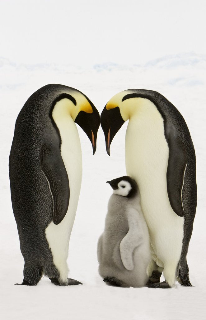 Emperor Penguins Protecting Chick by Corbis
