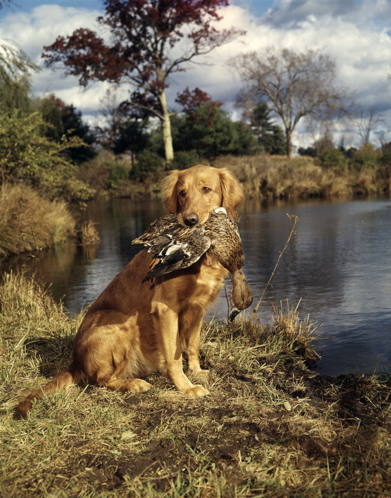 Detail of 1980s Golden Retriever Holding A Dead Duck In Mouth by Corbis