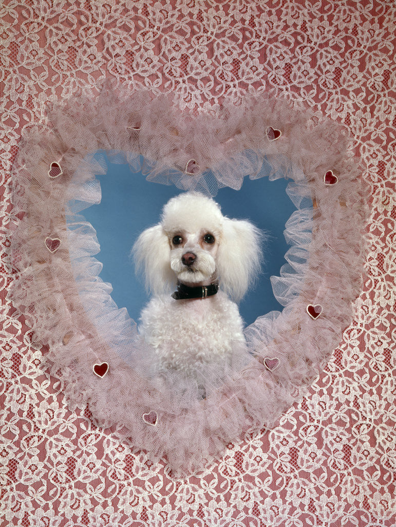 1960s White Miniature Poodle Dog Looking Through Red And White Lace Valentine Heart