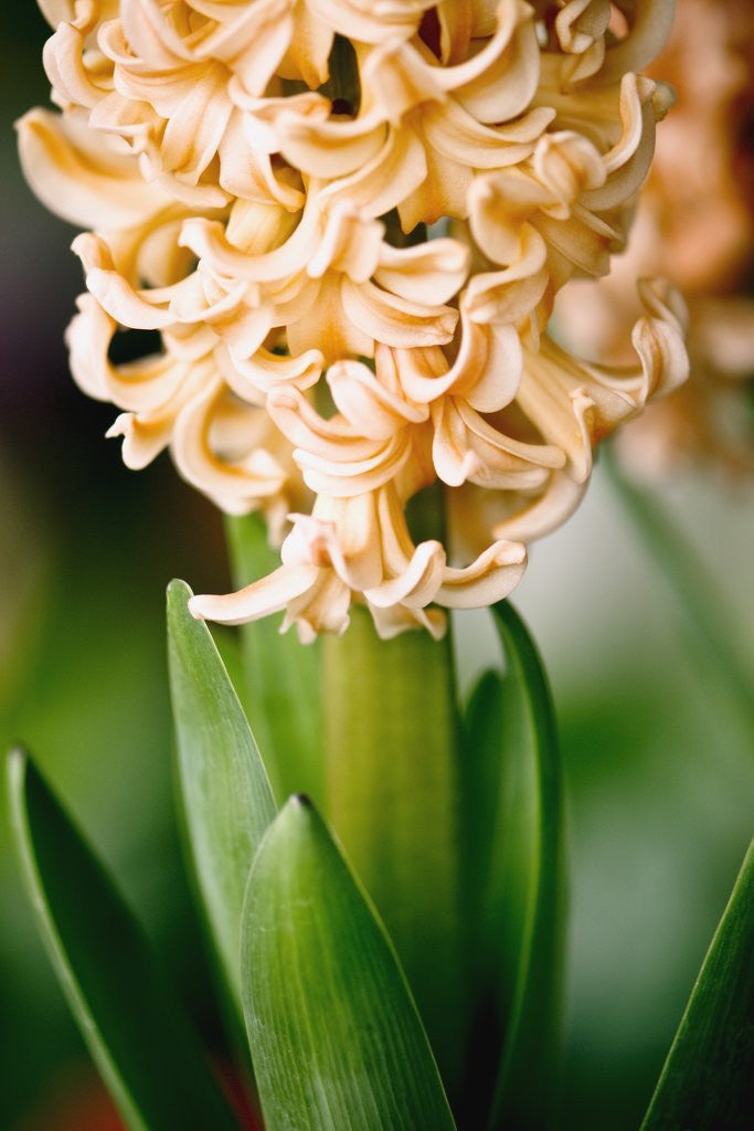 Detail of Fragrant Hyacinth by Corbis