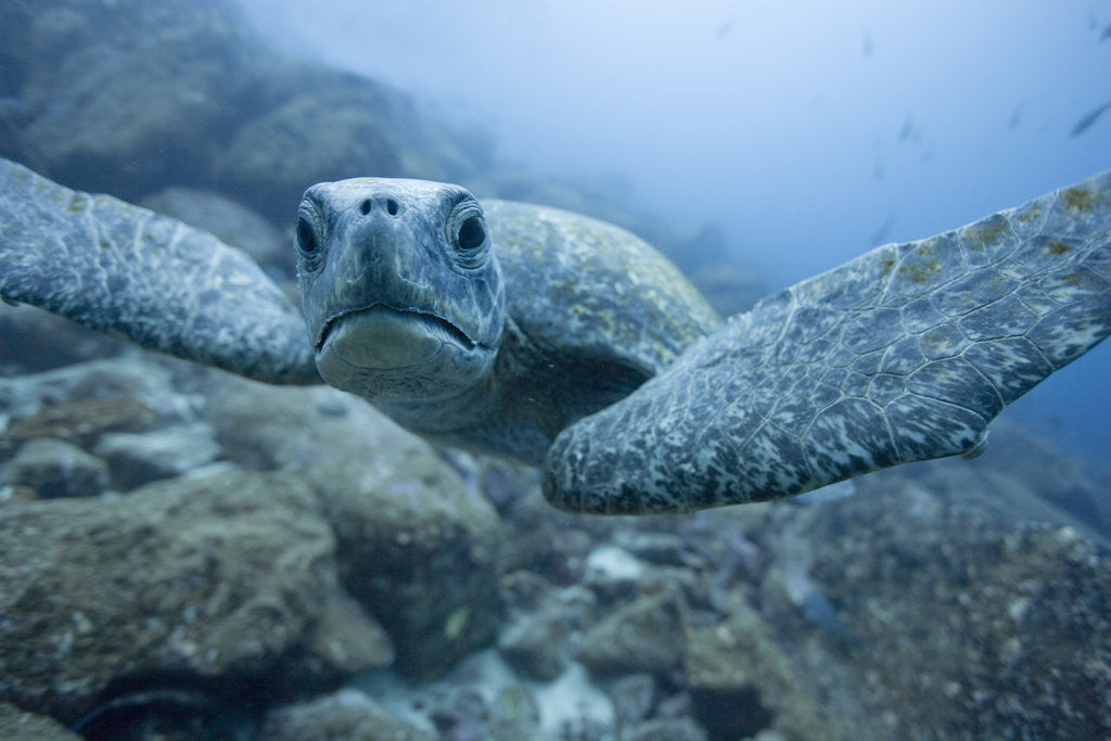 Green Turtle in the Galapagos Islands by Corbis