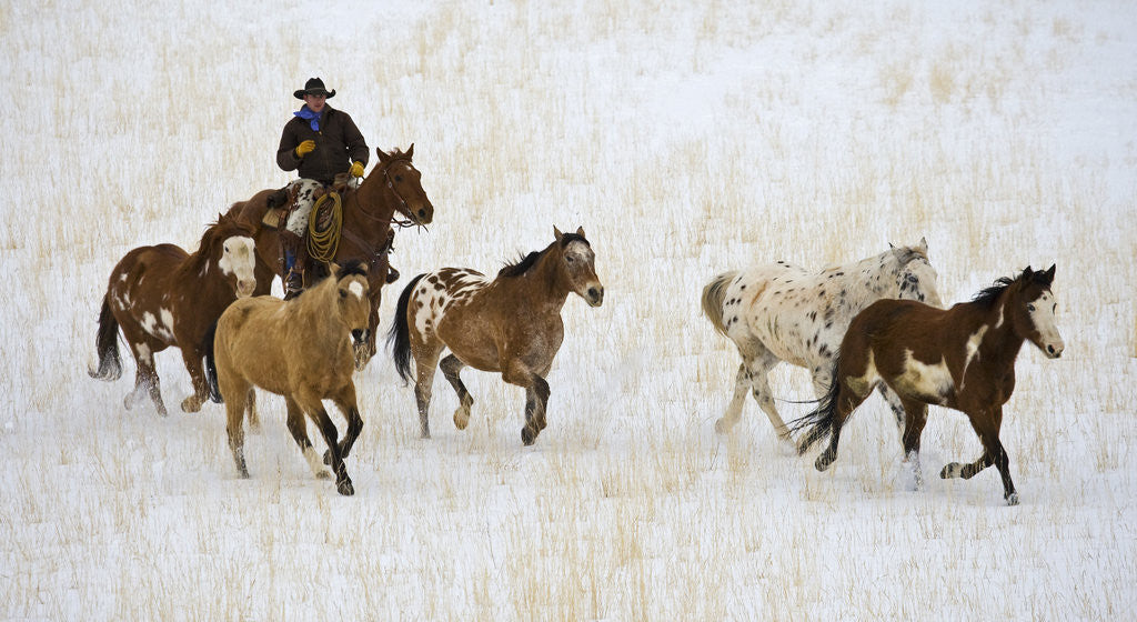 Detail of Cowboy Herding Horses at Hide Out Ranch in Wyoming by Corbis