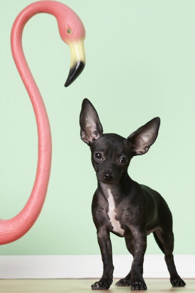Detail of Chihuahua next to pink flamingo by Corbis