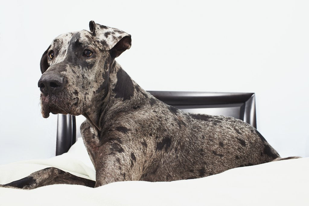 Detail of Great Dane on bed by Corbis