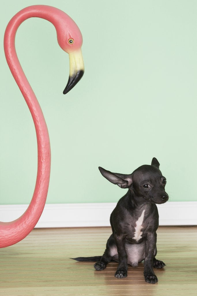 Detail of Chihuahua next to a pink flamingo by Corbis