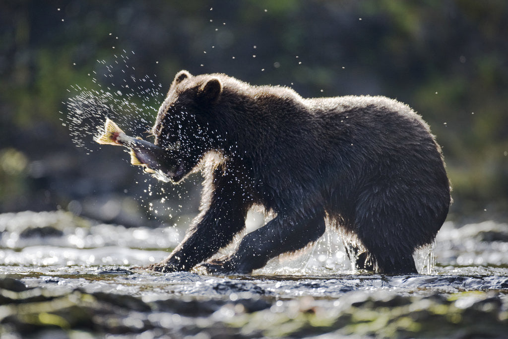 Detail of Brown Bear Fishing for Salmon in Alaska by Corbis