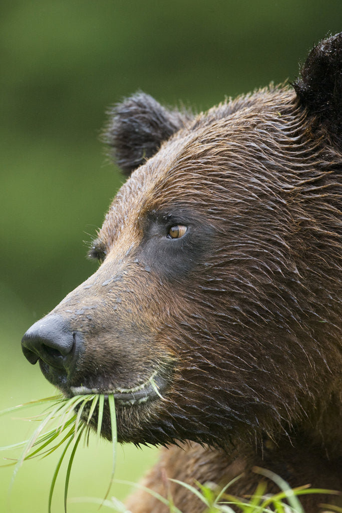 Detail of Brown Bear Feeding in Misty Fjords National Monument by Corbis