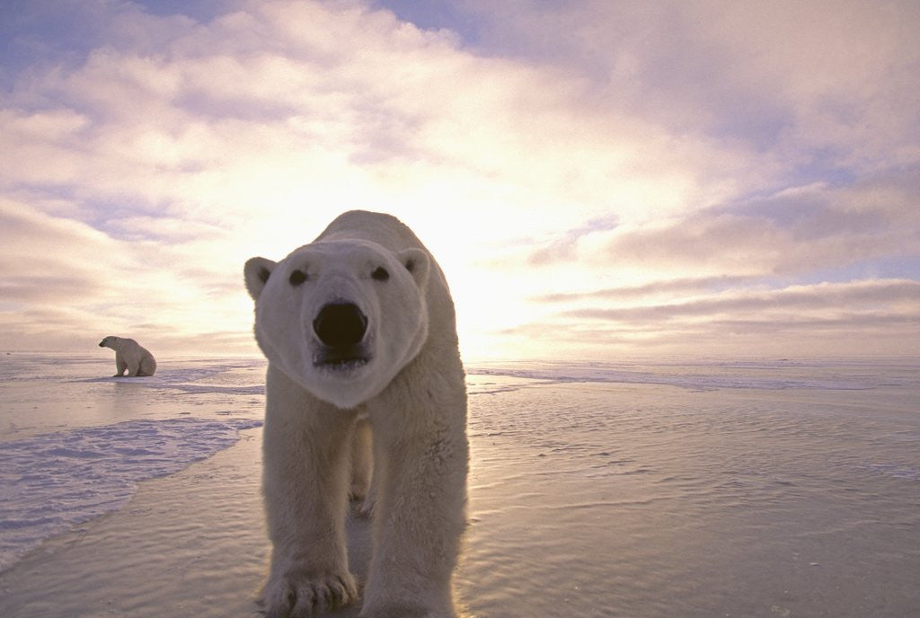 Detail of Sun Rising Behind Polar Bears by Corbis