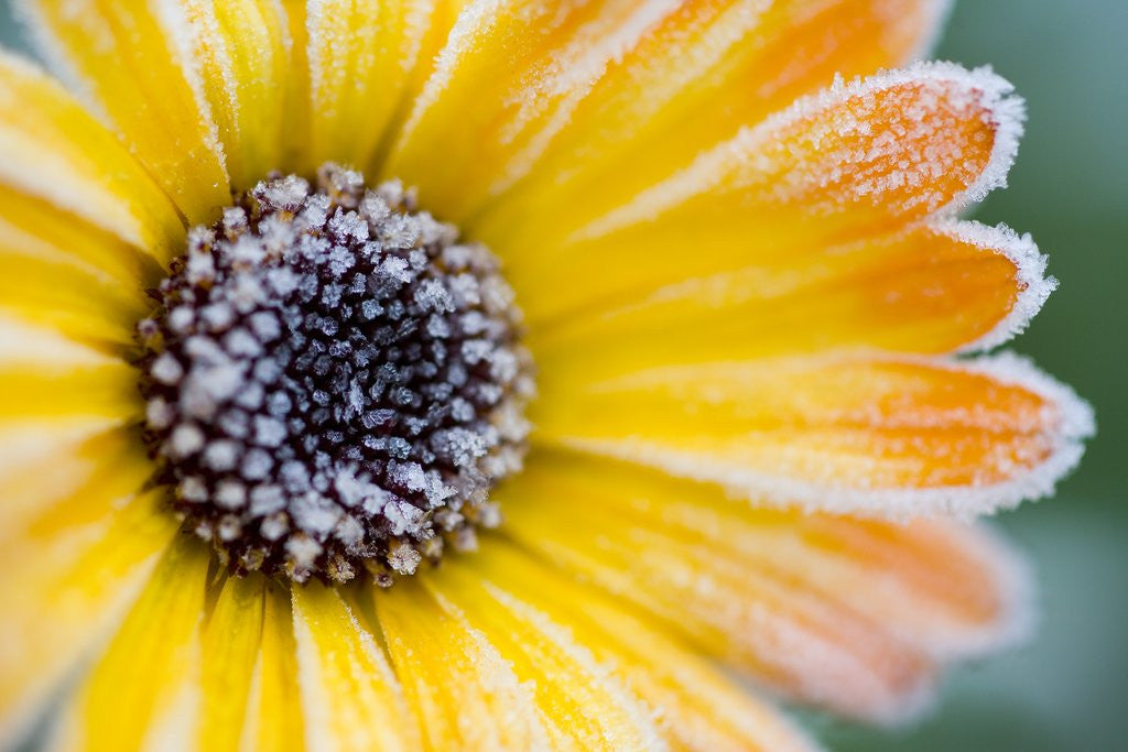 Detail of Frost on Wild Aster by Corbis