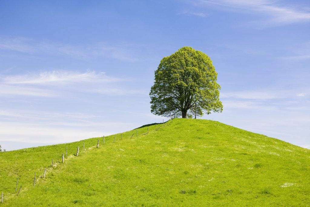 Lime Tree on Grassy Hill by Corbis