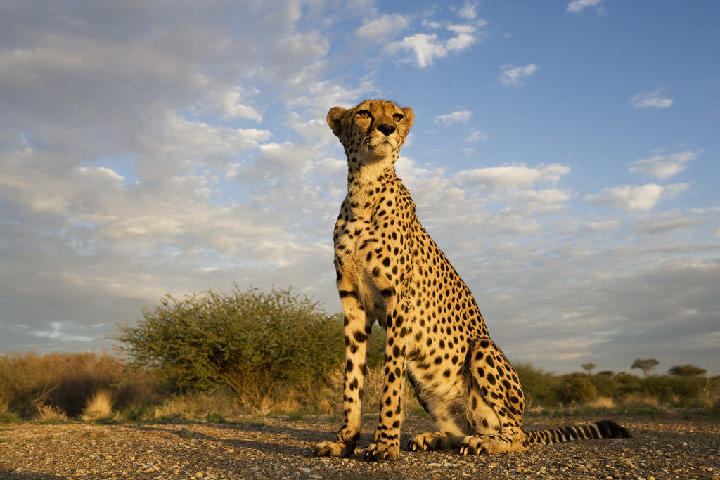 Detail of Cheetah at Sunset by Corbis