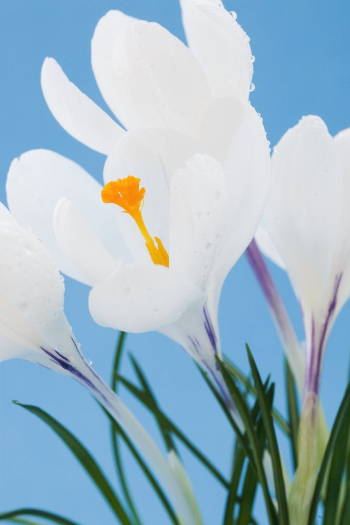 Detail of White crocuses by Corbis