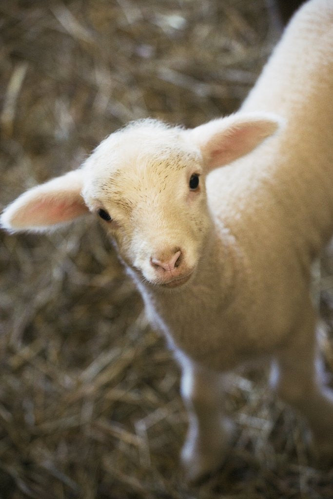 Detail of Baby lamb by Corbis