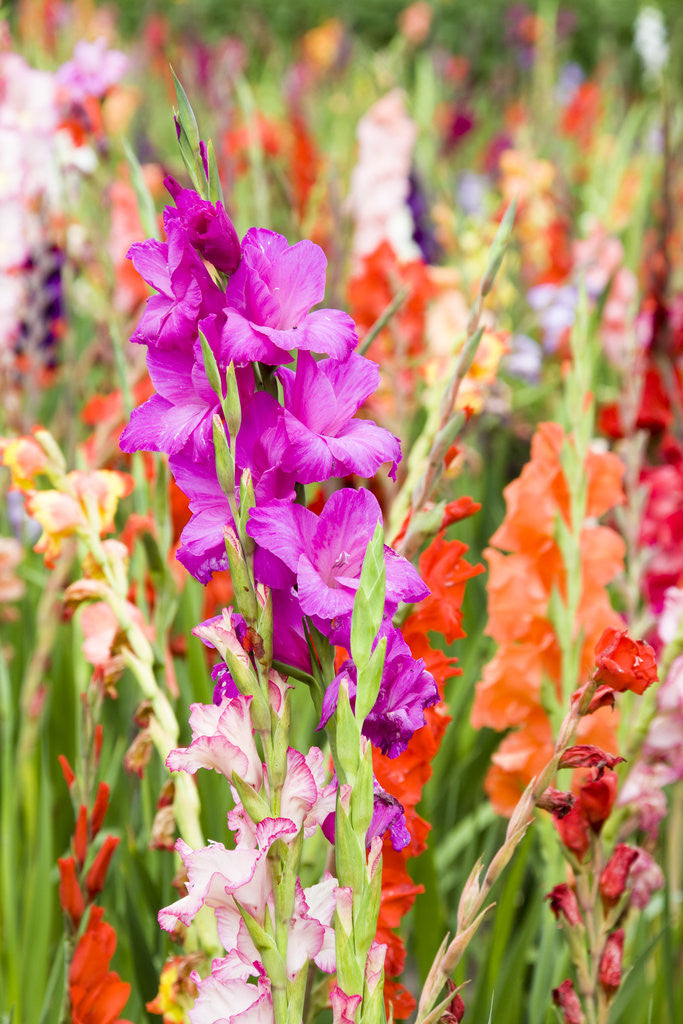 Detail of Gladioli Growing in a Garden in Germany by Corbis