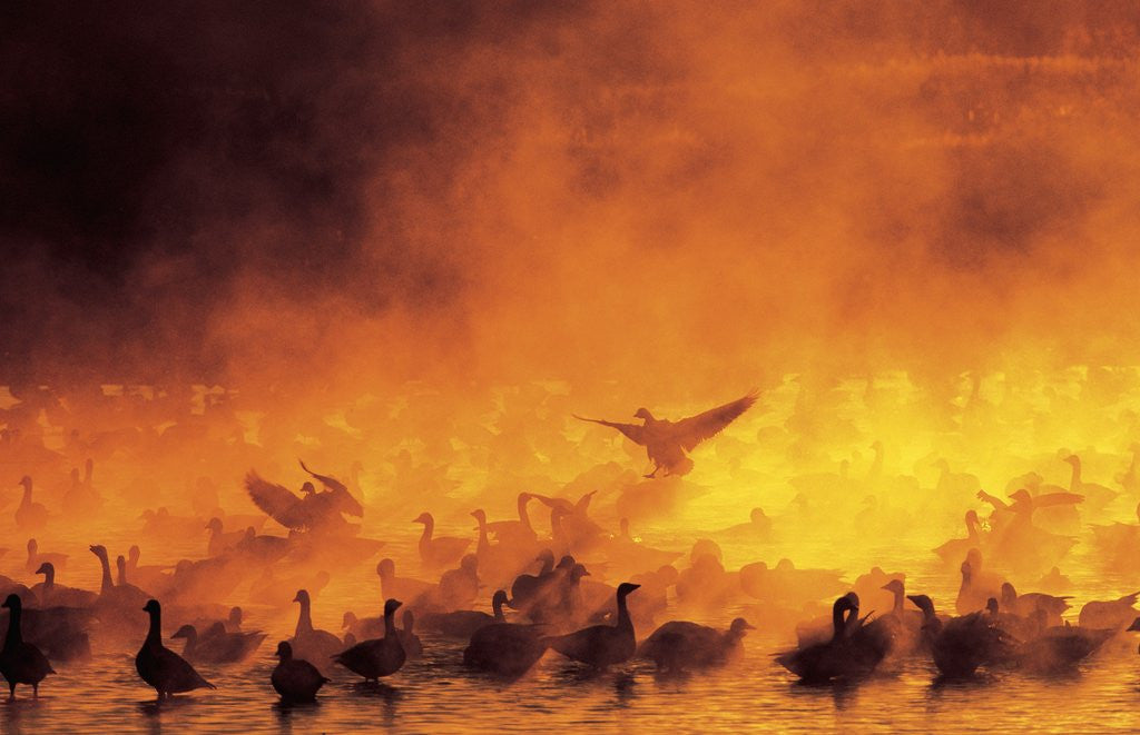 Detail of Geese in Sunrise Mist by Corbis