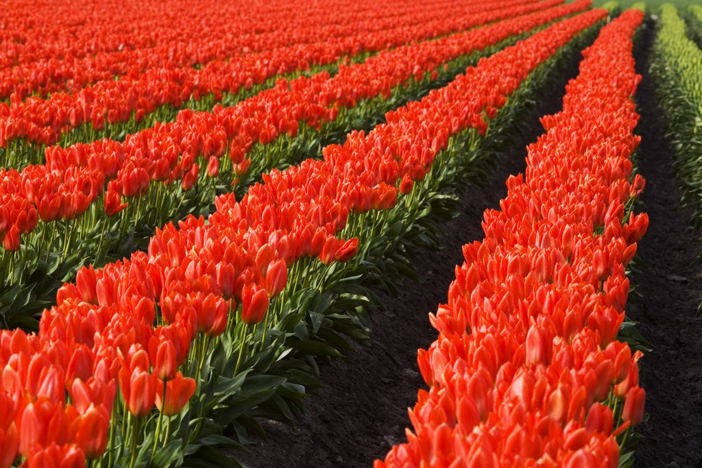 Detail of Rows of Red Tulips in Bloom in Skagit Valley by Corbis