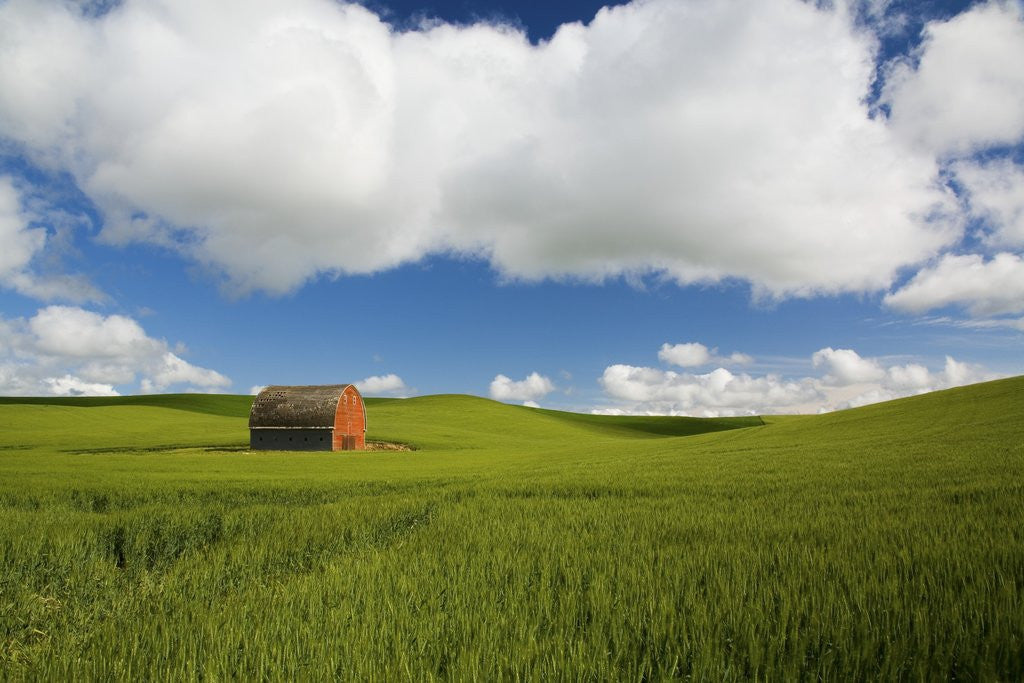 Detail of Old Red Barn in Spring Wheat Fields by Corbis