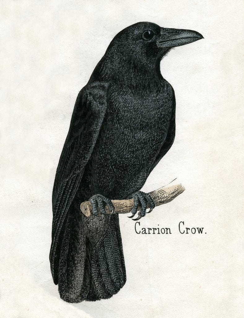 Detail of Carrion Crow Illustration by Corbis