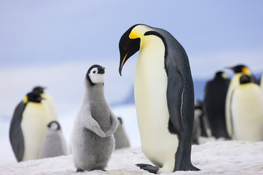 Detail of Emperor Penguin With Chick by Corbis