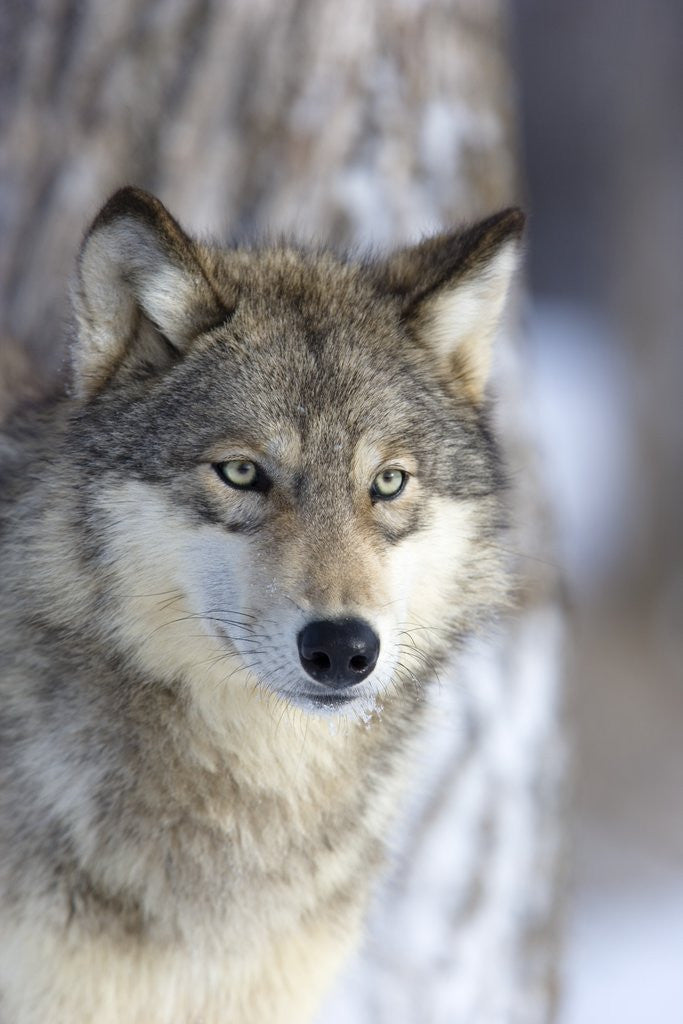 Detail of Gray Wolf by Corbis