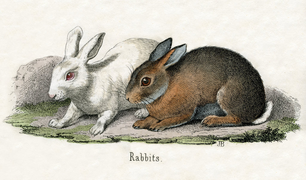 Detail of Rabbits Illustration by Corbis
