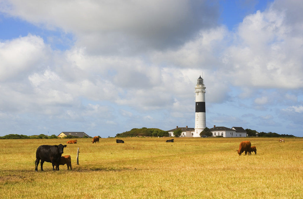 Detail of Cows Grazing near Kampen Lighthouse on Sylt Island by Corbis