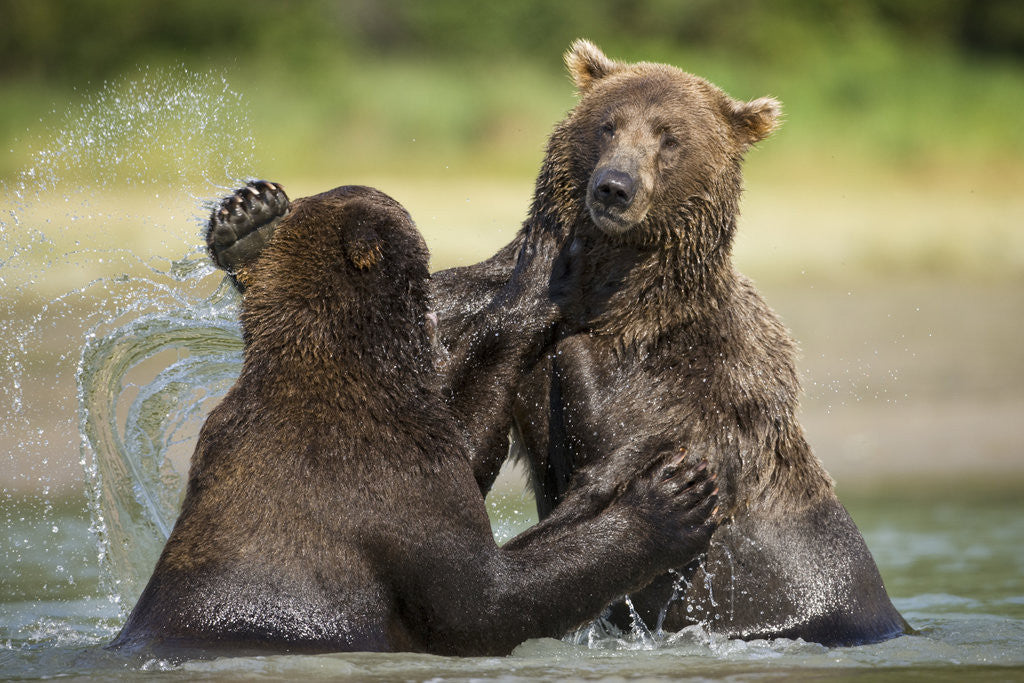 Detail of Brown Bears Sparring in Stream at Kukak Bay by Corbis