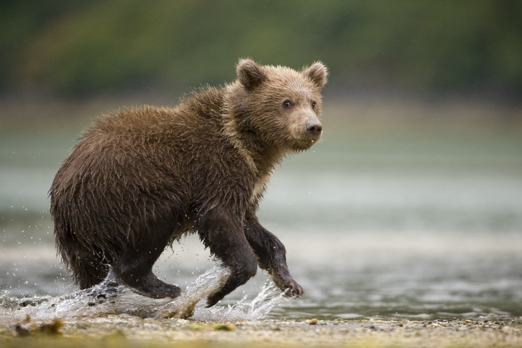 Detail of Brown Bear Cub on Beach at Geographic Harbor by Corbis