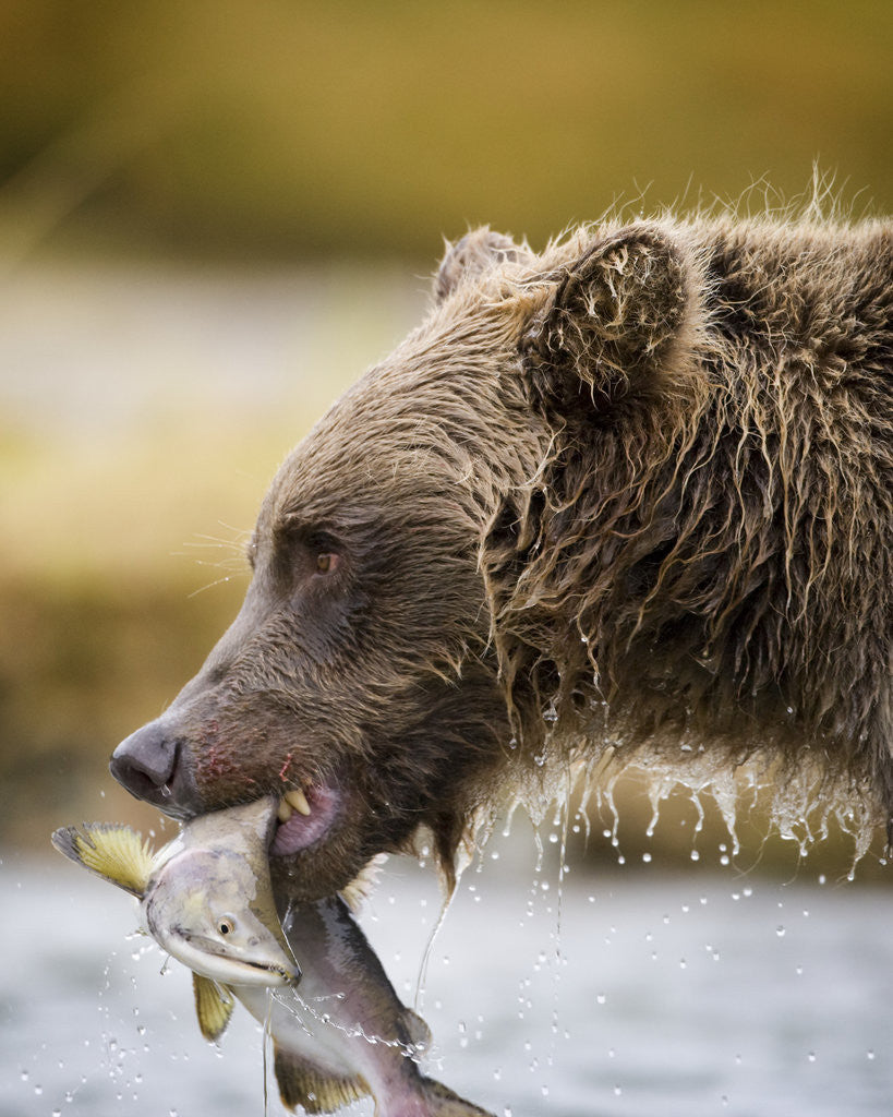 Detail of Grizzly Bear Carrying Spawning Salmon at Geographic Harbor by Corbis
