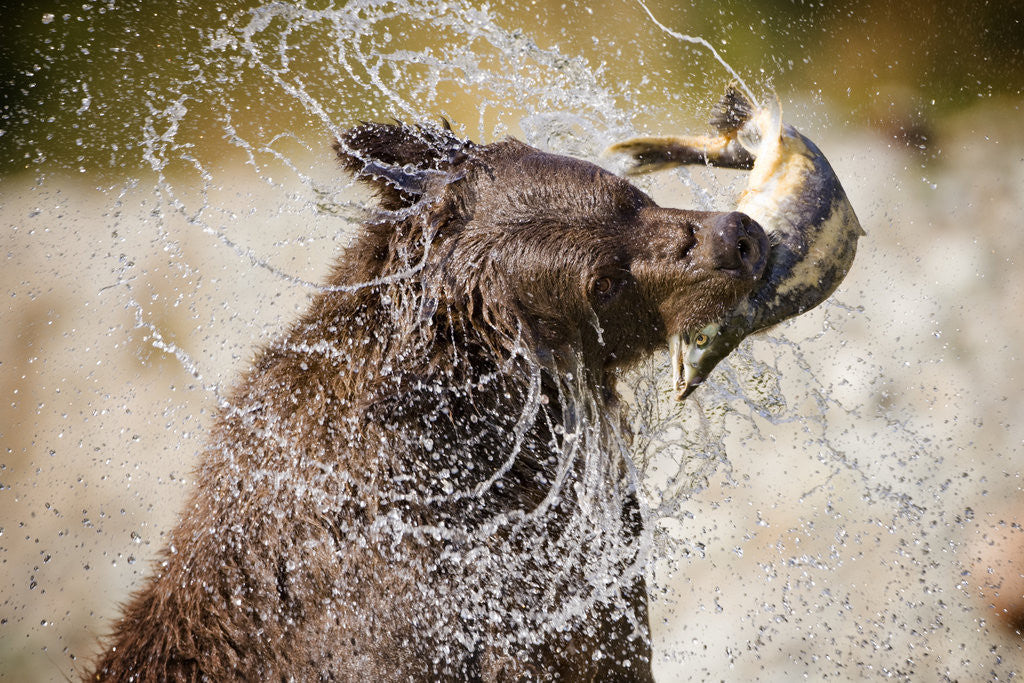 Detail of Brown Bear Catching Spawning Salmon from Stream at Kinak Bay by Corbis
