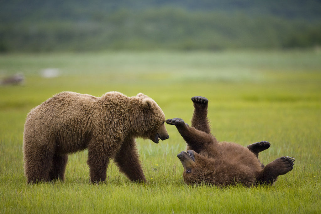 Detail of Brown Bears Sparring in Meadow at Hallo Bay by Corbis