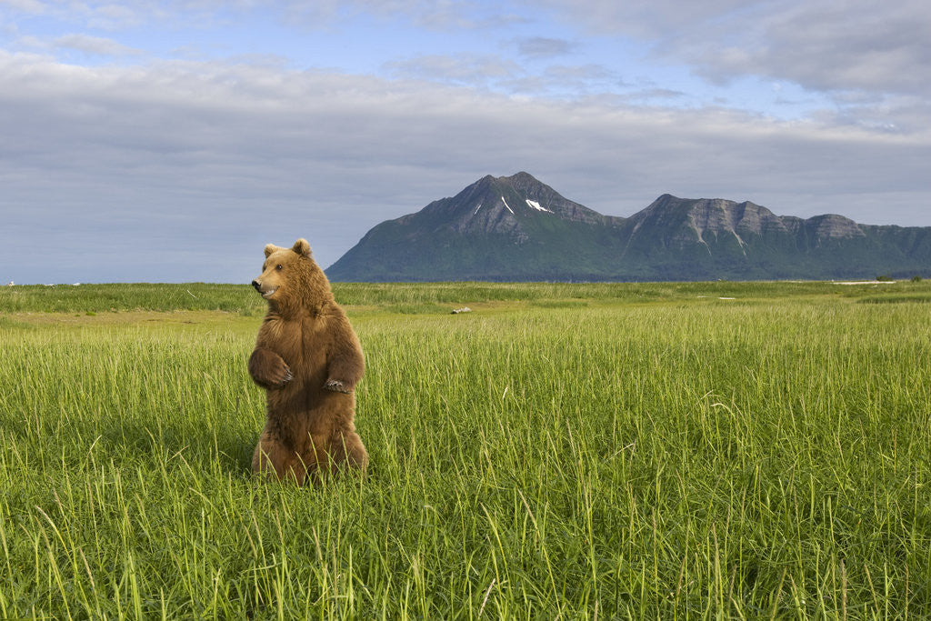 Detail of Grizzly Bear Standing Upright in Tall Grass at Hallo Bay by Corbis
