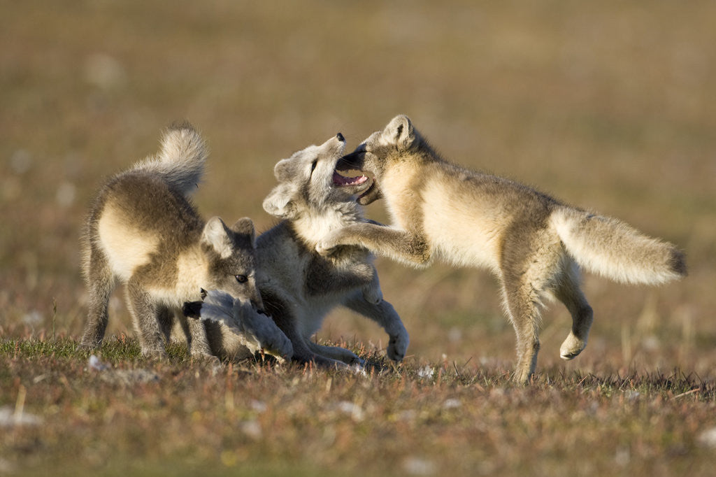 Detail of Arctic Fox Kits Playing on Tundra on Edgeoya Island by Corbis