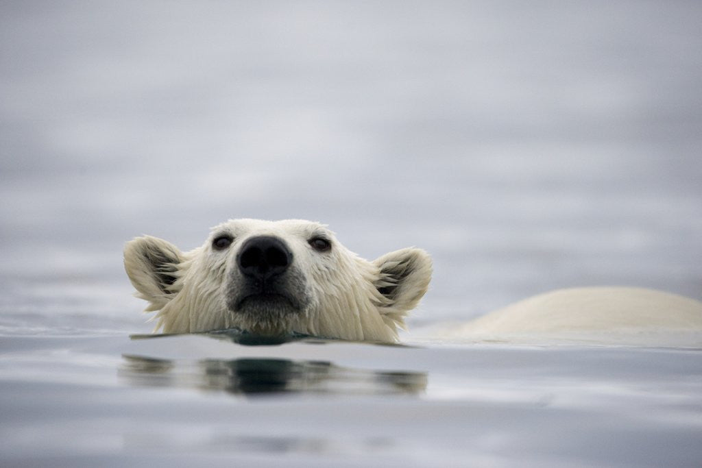 Detail of Swimming Polar Bear at Half Moon Island in Svalbard by Corbis