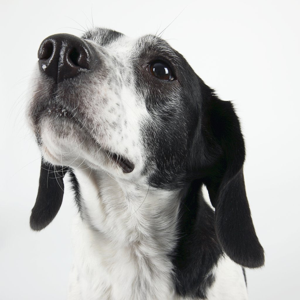 Detail of Dog Looking Up by Corbis