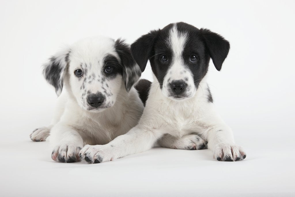 Detail of Two Puppies by Corbis