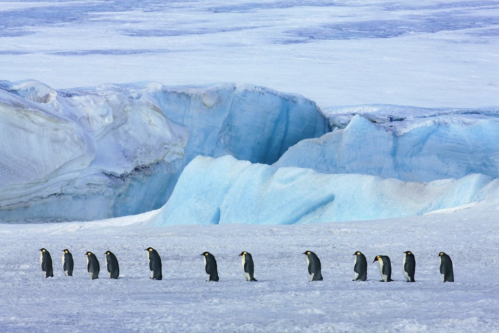 Detail of Emperor penguin group with iceberg by Corbis