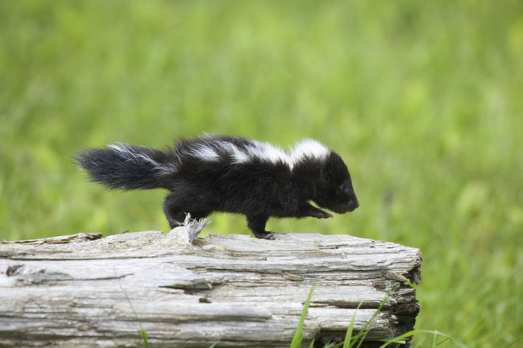 Detail of Baby skunk on log by Corbis